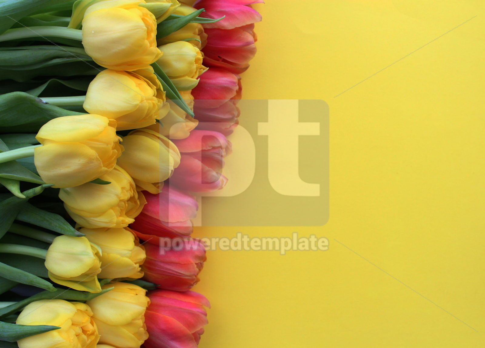 Yellow and red tulips on yellow background, 18030, Holidays — PoweredTemplate.com