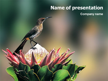 Nature & Environment: Cape Sugarbird PowerPoint Template #02052