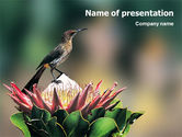 Nature & Environment: Kaapse Suikervogel PowerPoint Template #02052