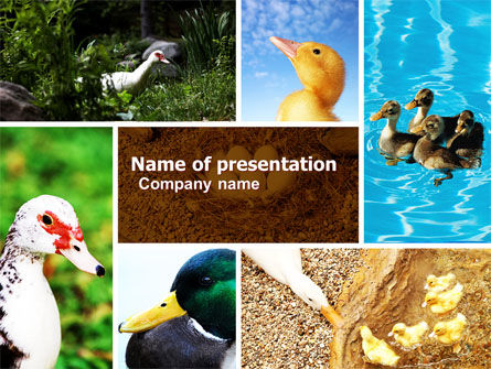 Duck PowerPoint Template, 05190, Agriculture — PoweredTemplate.com
