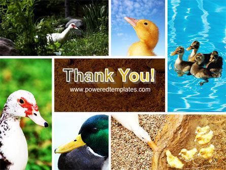 Duck PowerPoint Template Slide 20