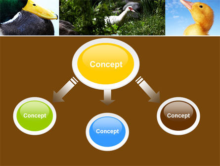 Duck PowerPoint Template, Slide 4, 05190, Agriculture — PoweredTemplate.com