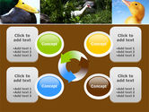 Duck PowerPoint Template#9