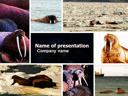 Animals and Pets: Walrus Free PowerPoint Template #05511