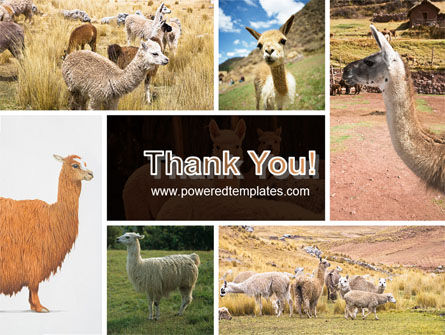 Free Lama PowerPoint Template Slide 20
