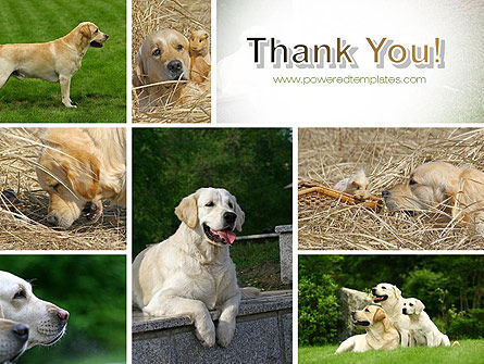 Labrador PowerPoint Template Slide 20