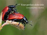 Nature & Environment: Two Ladybugs PowerPoint Template #15533