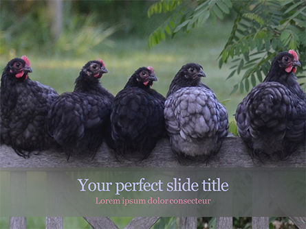 Agriculture: Several Hens are Sitting on Fence PowerPoint Template #15580