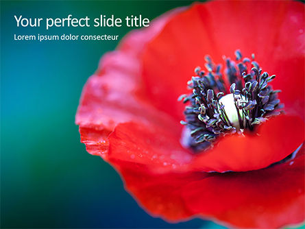 Nature & Environment: Red Poppy Closeup Presentation #15878