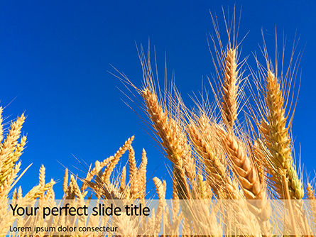 Food & Beverage: Golden Ears of Wheat Against the Blue Sky Presentation #15899