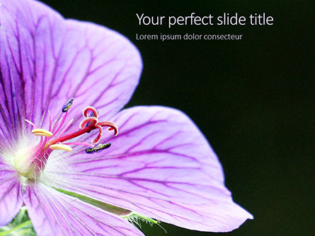 Nature & Environment: De Violette Close-up Van De Malvabloem PowerPoint Template #15943
