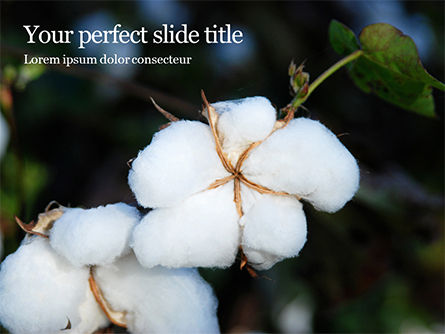 Agriculture: Closeup of Ripe Cotton Plant Presentation #15983