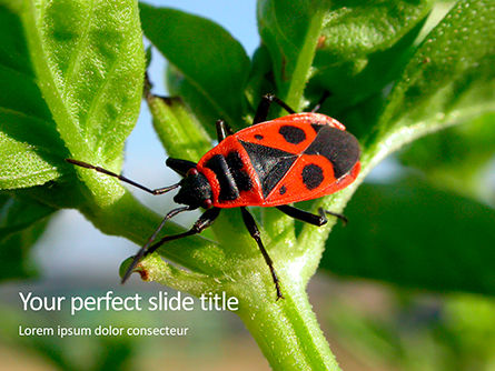 Nature & Environment: Firebug Pyrrhocoris Apterus on Green Twig Presentation #16012